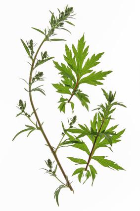 Gewöhnlicher oder Gemeiner Beifuss (Artemisia vulgaris), freigestellt vor weißem Hintergrund